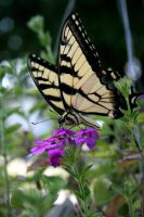 Swallowtail Butterfly by KatiesPhotography