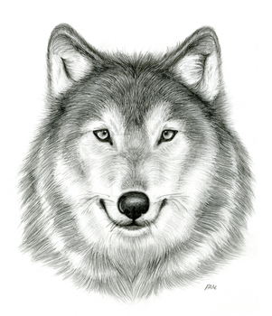 Observational Drawing - Wolf head by Enigmatic-Wolf