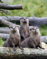 Three Otters by SnowPoring