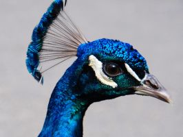 peacock by PrimaDonna77