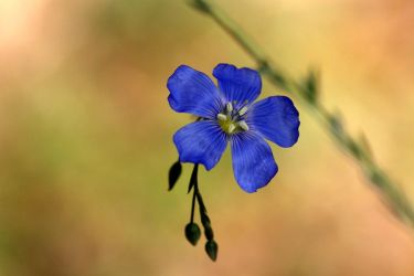 Flax by myekeh