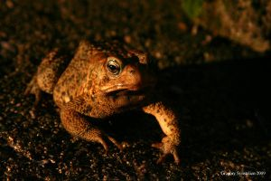 Toad at Sunset 2009 by UffdaGreg