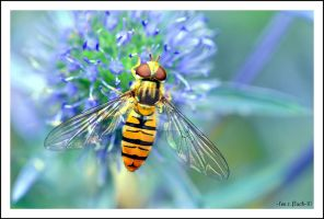 hoverfly5 by photoflacky