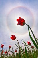 Tulip Halo by DeingeL