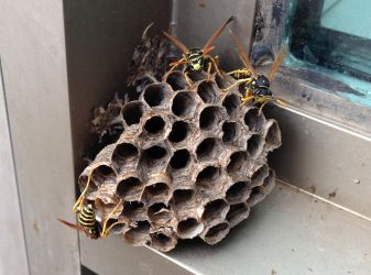 Wasp ingenuity by Ripplin