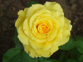 Yellow Rose III by KyriaDori