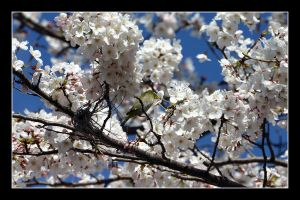 Bird in the blossom 2 by Keith-Killer