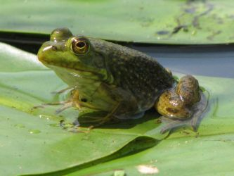 Frog in the Pond by RobMitchem