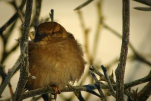 Little sparrow in frozen bush by steppeland