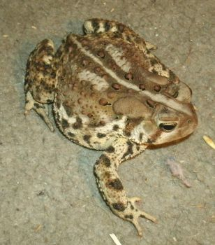 Plump Toad by SacredJourneyDesigns