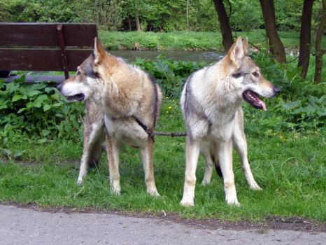 czech wolfdog - dad and son1 by Blondlupina