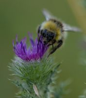 Bee n Thistle! by Mincingyoda