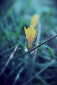 Spring is just a moment | Crocus by Sugar-Sugar-Bee