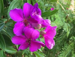Tibouchina by redwolfoz
