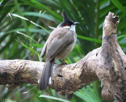 red-whiskered bulbul by kiwipics
