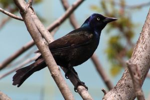 common grackle (Quiscalus quiscula) by minamiko