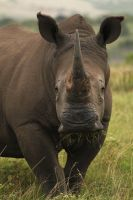 Rhino, South Africa Pt II by heatherae
