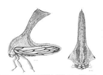 Treehopper study by Edestoid