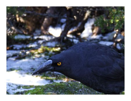 Currawong by bills2020