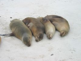 Galapagos : Sea Lions by OnyxSerpent