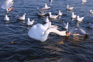 Swan attacks Seagulls by blueMALOU