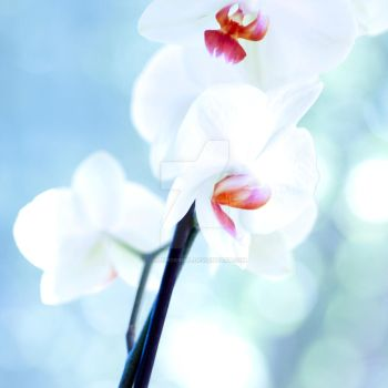 Orchid by LillemorGull