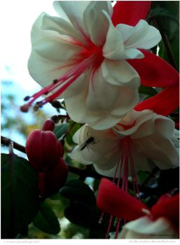 Fuschias by In-the-picture