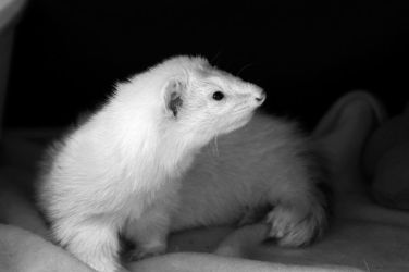 CPR Ferrets I by LDFranklin
