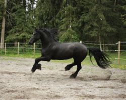 Black Friesian Horse 3 by GreenEyezz-stock