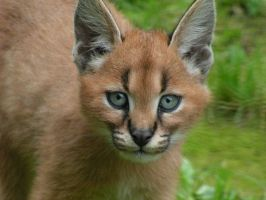 Caracal cub by Henrieke