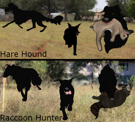 Hare and Raccoon Hunter Champion by IcyMountainKennels
