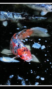 King of the Koi by myuh