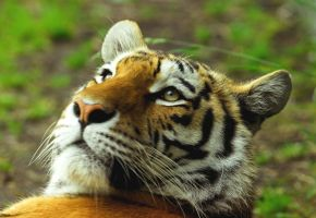 Amur Tiger by Shadow-and-Flame-86