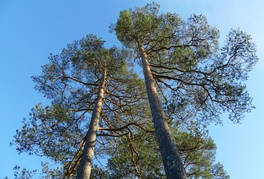Tall Pines by HeidyRolland