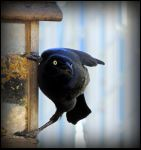 Clever Grackle by JocelyneR