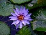 Water Lily at Mote marine near the Manatees by mandykat