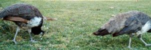 Peafowl Foraging 2 by dracontes