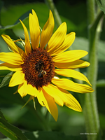 Sunflower and a bee by Mogrianne