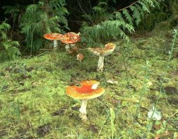 Deadly Shrooms in Forks, WA by RC-ForksWA
