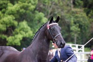 STOCK - Friesian Show 2012-71 by fillyrox