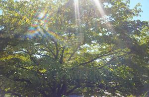 Tree with sunlight by RavenRechior