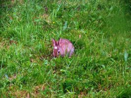 Baby Rabbit Munching back Garden by merearthling