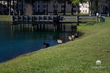 Geese at the Lakeside 3 by meunierjj