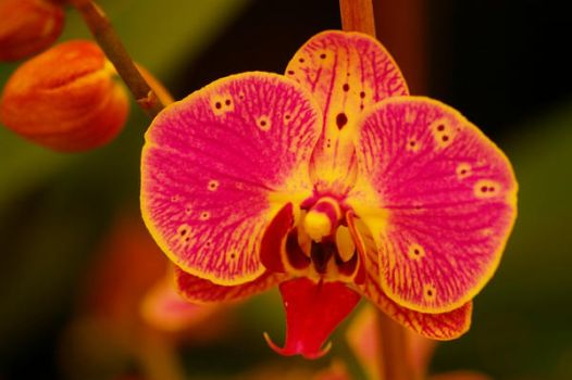 Orchid 58 by PatGoltz