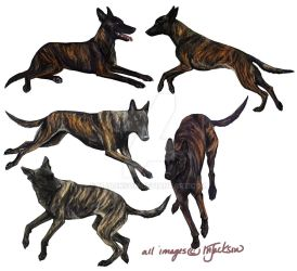 Dutch Shepherd Studies by mJackson