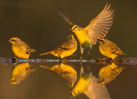 Canary Clan by MorkelErasmus