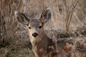 Fawn at sunset 2 by themanitou