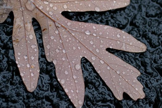 Leaf Droplet III by Shniz