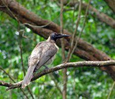 Noisy Friar Bird by ozplasmic
