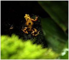 Yellow Poison Arrow Frog by ciseaux